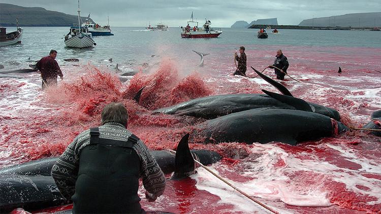 El Atlántico se tiñe de sangre: así masacran a ballenas en las islas Feroe (FOTOS, VIDEO GRÁFICO)
