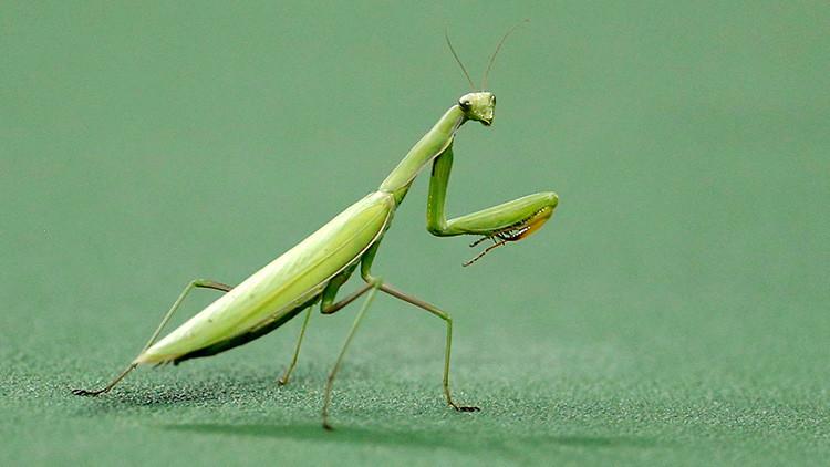 Foto: La tenebrosa imagen de una mantis devorando la cabeza de un pájaro inquieta a las redes