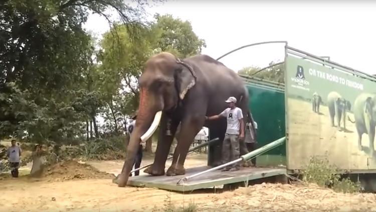 VIDEO: Liberan a un elefante en India tras sufrir más de 50 años de maltrato