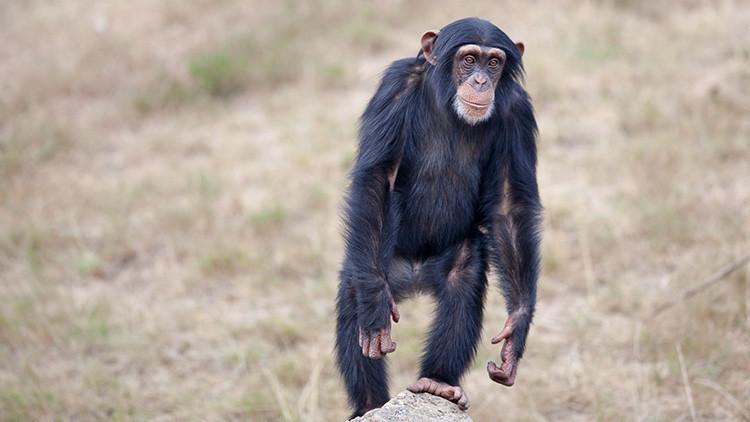 Los chimpancés son más fuertes que los seres humanos (y ya se sabe por qué)