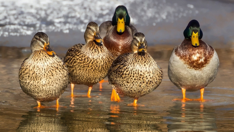 Algo extraño está pasando: Filman a patos devorando pequeños pájaros