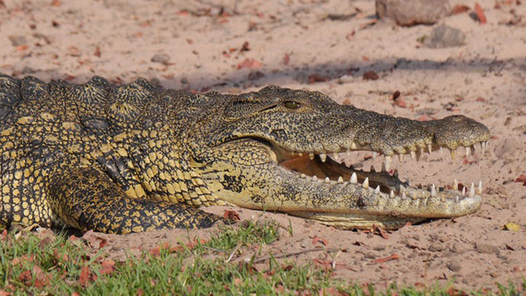 Foto: Una familia mexicana tenía como mascota un cocodrilo