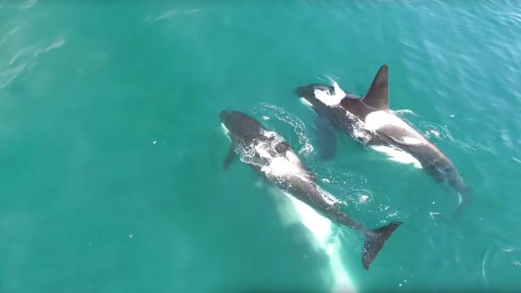 De cacería: Unas orcas acechan y matan a una ballena de 12 metros de longitud (VIDEO)