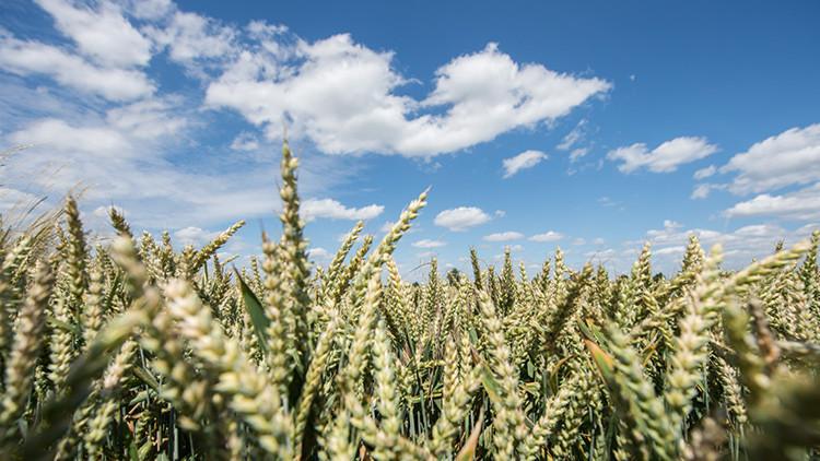 Un agricultor italiano convierte un campo de trigo en un retrato de Putin (Video)