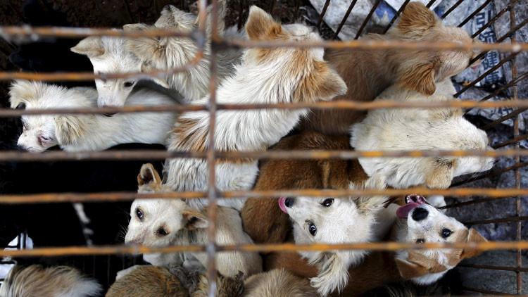 VIDEO: Activistas rescatan a 1.300 animales destinados al festival de la carne de perro en China