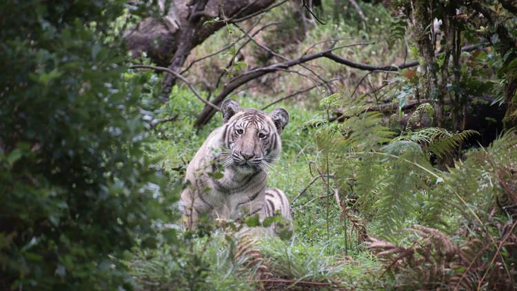 """FOTOS: Descubren un espectacular ejemplar de """"tigre pálido"""" único en su especie"""