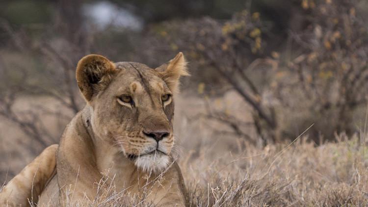 FOTOS: Una leona amamanta a un cachorro de leopardo y deja de piedra a los naturalistas
