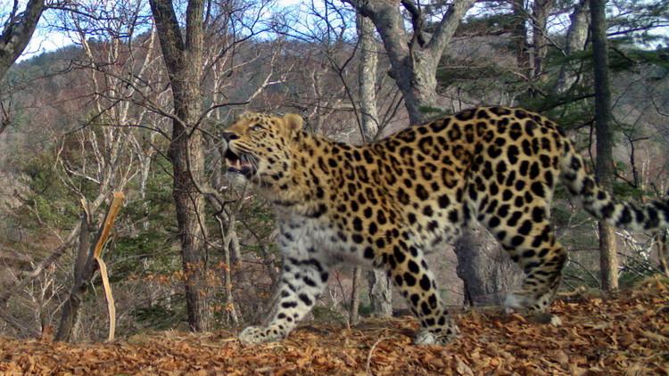 Primera foto amorosa de dos leopardos salvajes del Lejano Oriente de Rusia