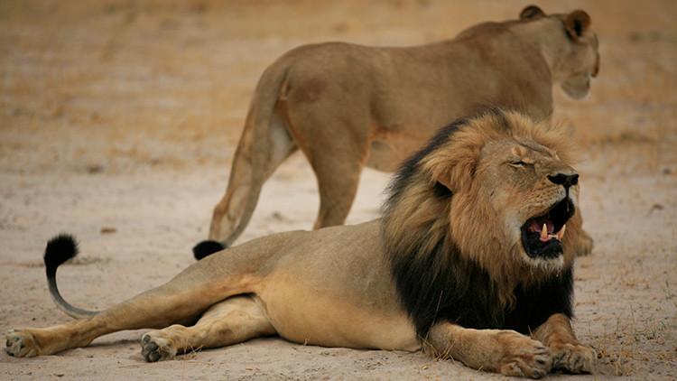 Matan al hijo de Cecil, el león cuya muerte conmovió el mundo hace dos años