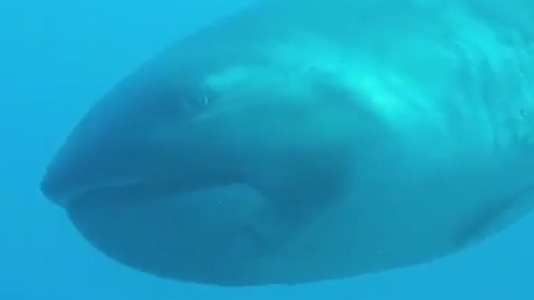 VIDEO: Turista filma uno de los tiburones más raros del mundo