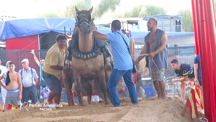 Golpes en hocico, barriga o testículos: las exhibiciones de 'tiro y arrastre' en Valencia (VIDEO)