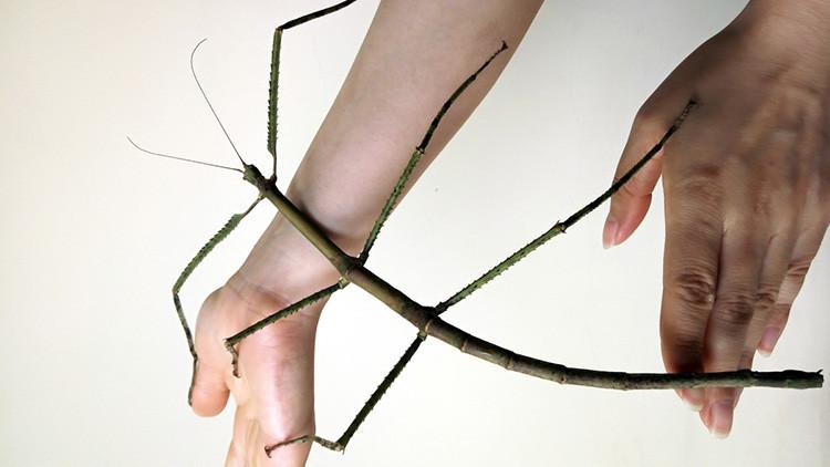 Así es el insecto más largo del mundo (FOTOS)