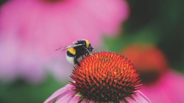 Un polémico plaguicida impide que los abejorros pongan huevos y pone en peligro a la especie