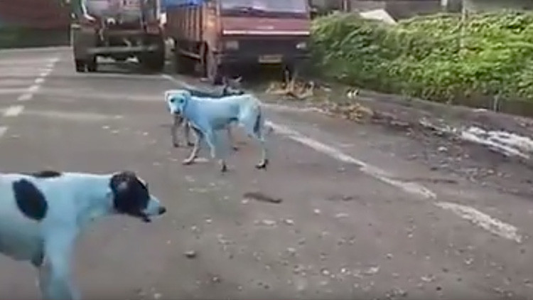 Perros callejeros de la India se vuelven azules (VIDEO)
