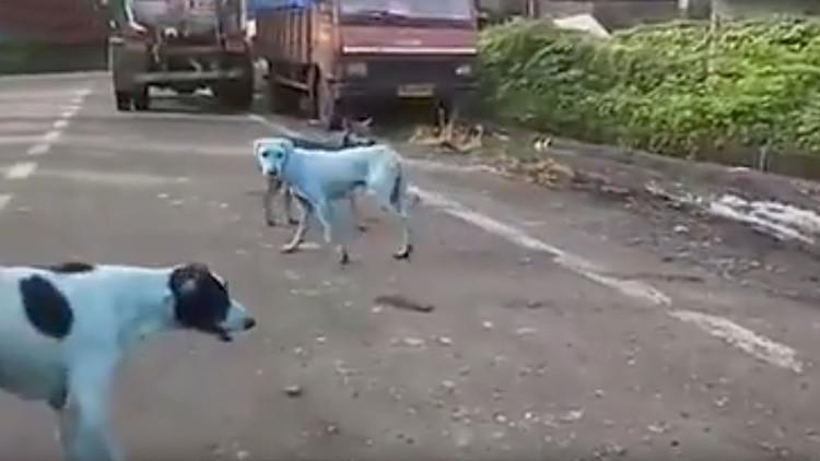 Perros callejeros de la India se vuelven azules (VIDEO)