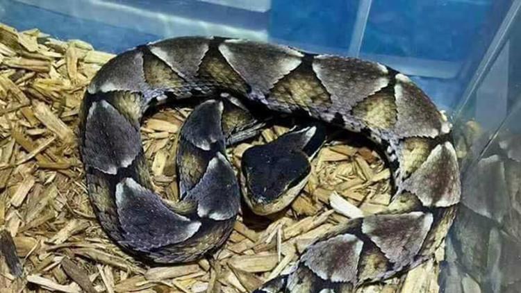 FUERTES IMÁGENES: Esto es lo que sucede al no tratar a tiempo una mordedura de serpiente venenosa