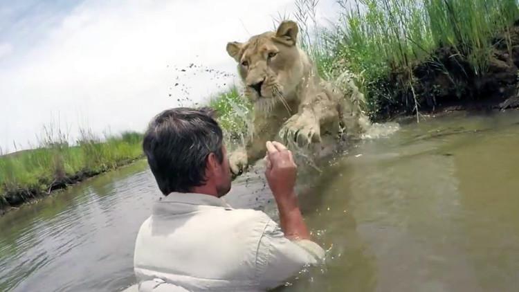 'El encantador de leones': Una leona adulta salta a abrazar al hombre que le salvó la vida (VIDEO)