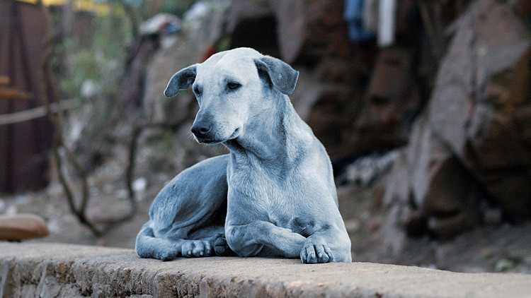 FOTOS, VIDEO: Revelan por qué los perros se volvieron azules en la India