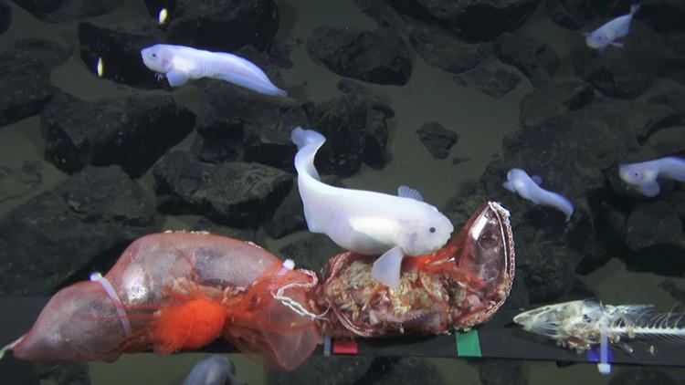 VIDEO: Filman a un pez a una profundidad récord en la fosa de las Marianas