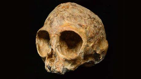 El recién encontrado cráneo del primate 'Alesi', 8 de agosto de 2017.