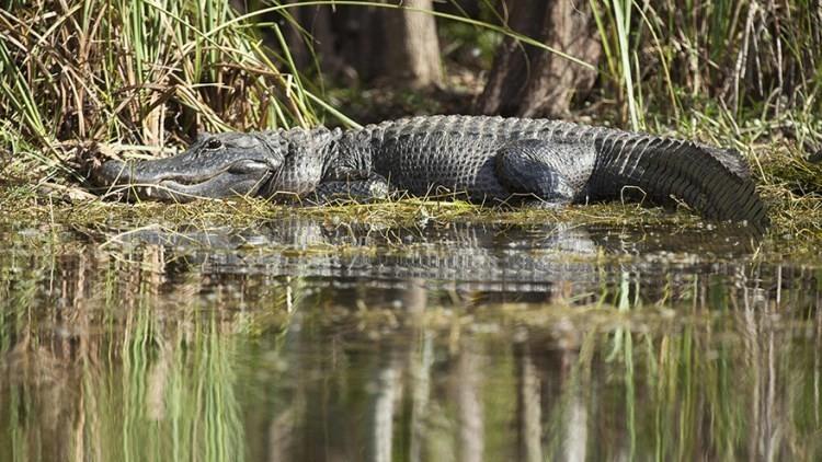 'Los regalos de Harvey': residente de Houston encuentra a un caimán de 3 metros en su casa (VIDEO)