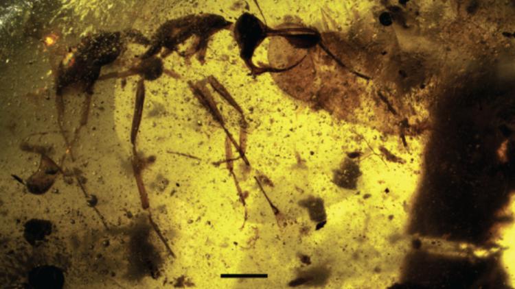 Una 'hormiga del infierno' encontrada en Birmania