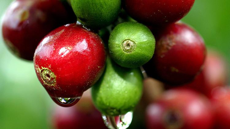 América Latina perderá la mayoría de sus plantaciones de café para 2050
