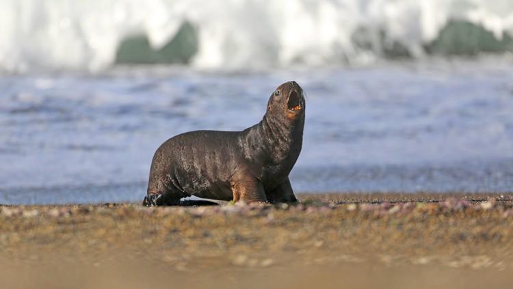 Crueldad animal: Hallan a un lobo marino amarrado a un árbol en Ecuador (VIDEO)