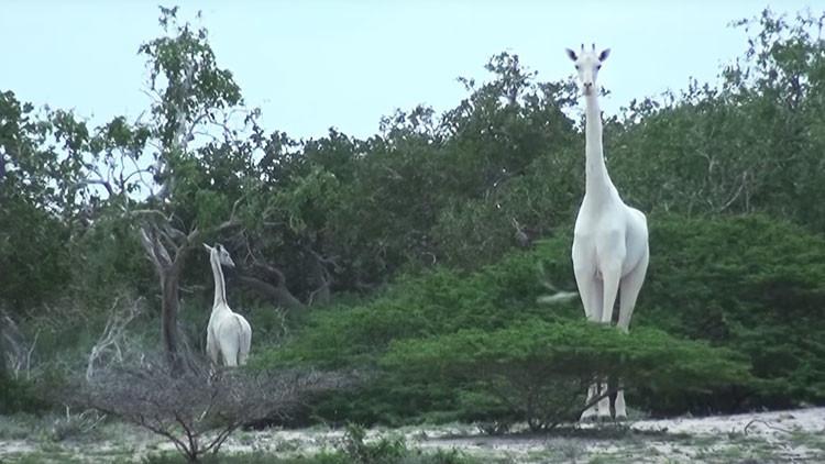 VIDEO: Filman por primera vez unas jirafas blancas extremadamente raras en Kenia