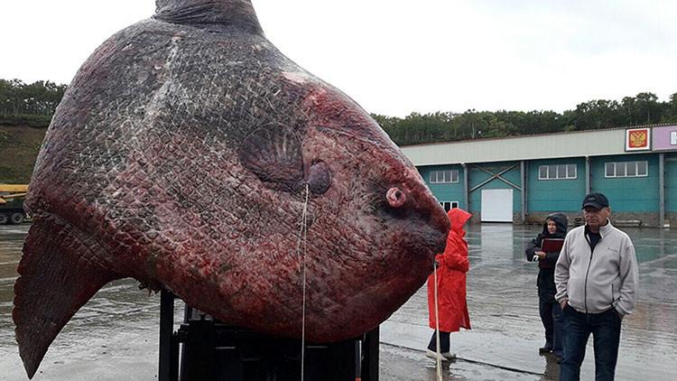 FOTOS: Un monstruoso pez de una tonelada es capturado en Rusia