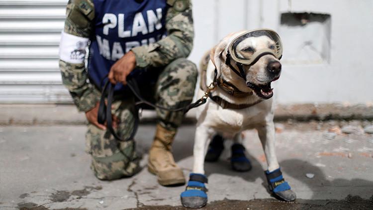 FOTOS: Conozca a los héroes caninos que rescatan a sobrevivientes del terremoto en México