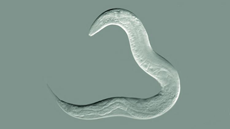 Científicos revelan cómo un gusano asexuado logró sobrevivir 18 millones de años