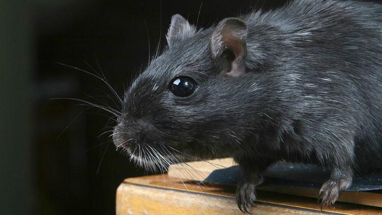 Descubren una especie de rata gigante que vive en los árboles y roe cocos (FOTO)