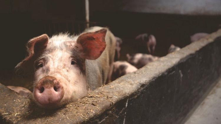 VIDEOS, FOTOS: Encuentran cerdos mutantes en una granja en Camboya