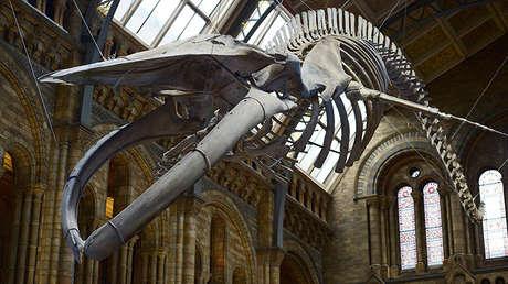 Esqueleto de una ballena azul gigante en el Museo de la Ciencia de Historia Natural de Londres