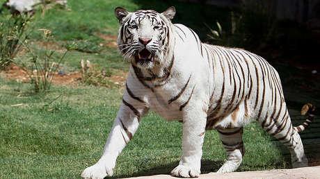 Tigres De Bengala Matan A Un Tigre Blanco Por Un Descuido En