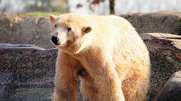 FOTOS: Más de 200 osos polares se congregan cerca de una ballena muerta para alimentarse
