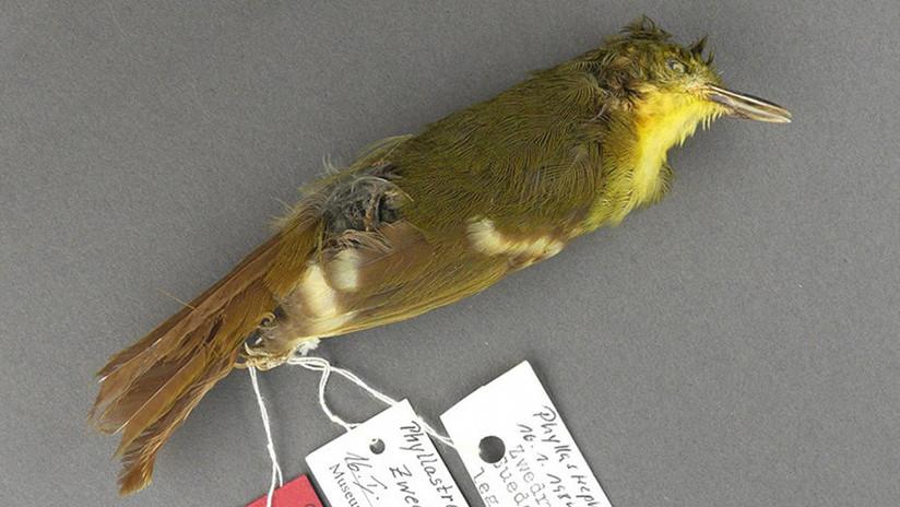 El 'mítico' pájaro cantor que puede no haber existido nunca