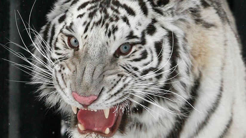 Dos cachorros de tigre blanco matan a un cuidador de animales en India
