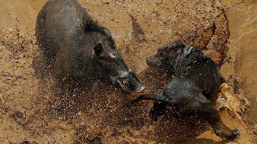 FOTOS: Así son las brutales peleas hasta la muerte entre perros y jabalíes en Indonesia