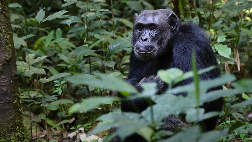 El espeluznante motivo por el que las chimpancés huyen lo más lejos posible para dar a luz