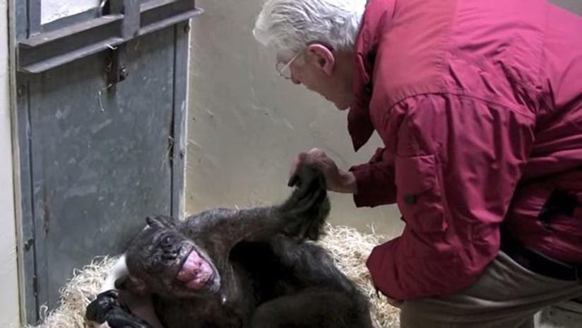 Un amor que resucita: Una chimpancé al borde de la muerte reconoce a su cuidador (VIDEO)