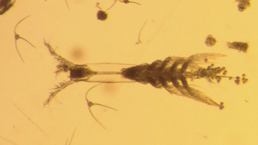 Descubren un diminuto 'monstruo' de ocho patas en el Ártico canadiense