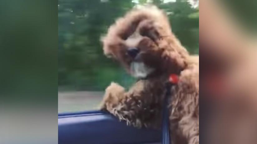 ¡Que la Fuerza te acompañe! Perro 'Chewbacca' desafía el viento (Video)