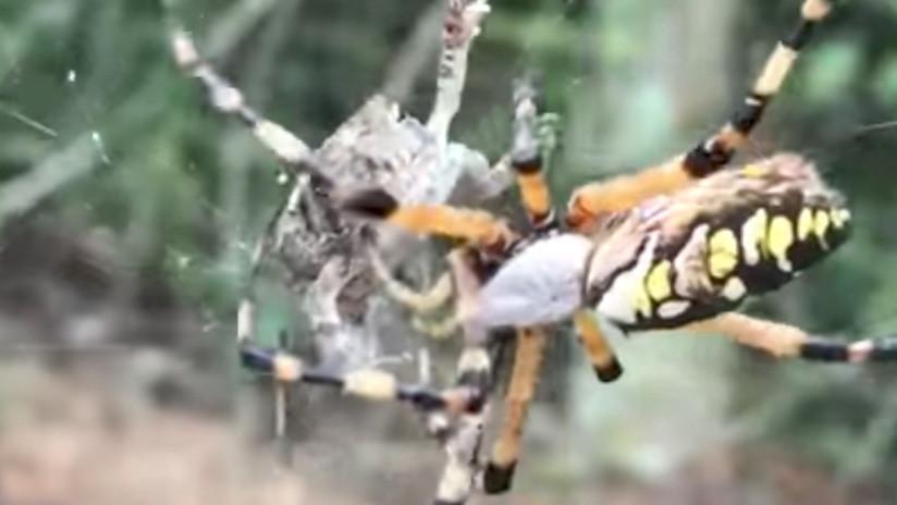 ¿La empaca para llevar? Araña ataca de forma sorprendente a una rana atrapada en su red (VIDEO)