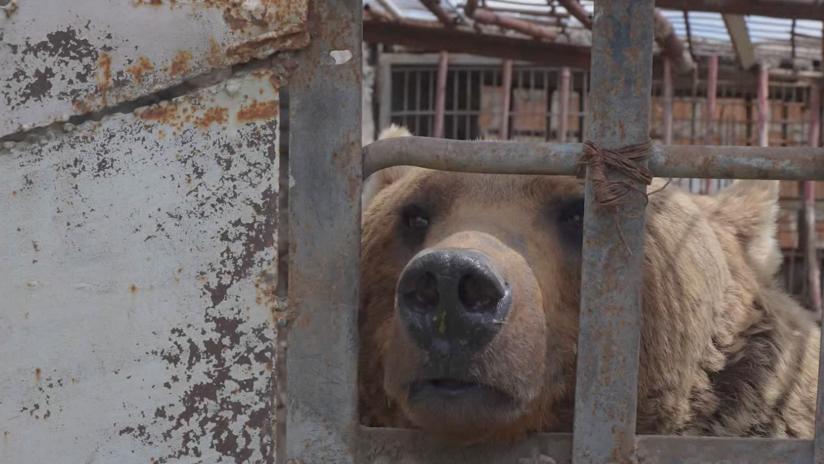 No son juguetes: una ONG quiere salvar a los osos enjaulados en Armenia (FOTO, VIDEO)