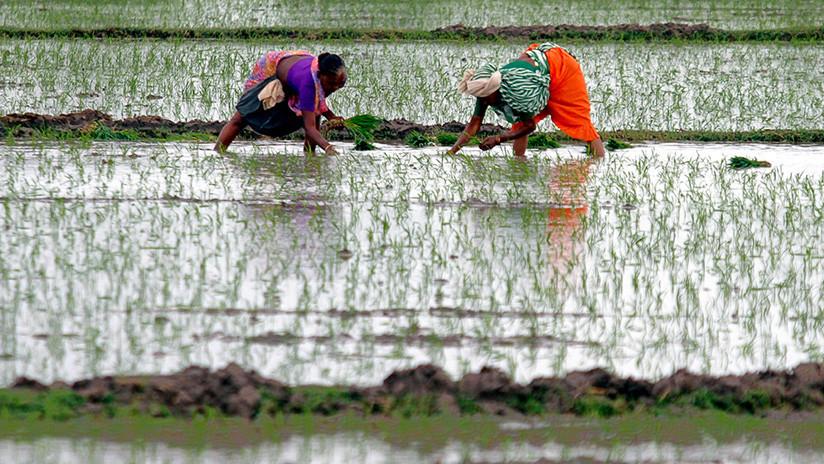 Un nuevo arroz permitiría alimentar a 200 millones de personas más en China