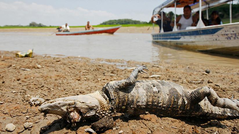 Terrorífico: caimanes y reses mueren por decenas en Brasil (video fuerte)