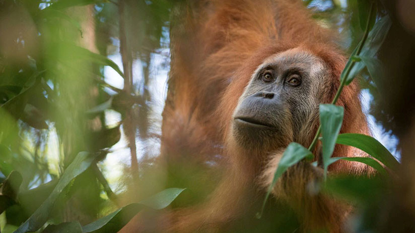 Descubren un orangután 'nuevo' que surgió hace más de tres millones de años