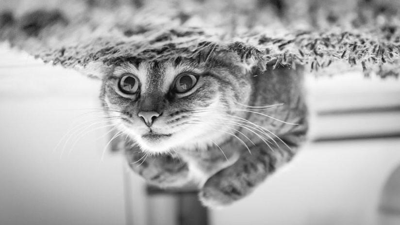 """FOTO: Un gato 'zen' conquista las redes al aceptar su """"destino inminente"""" de ser bañado"""